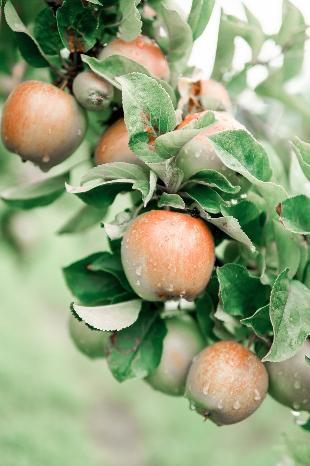 Saftige Äpfel im Apfelland Stubenberg ein Ausflugsziel Retter Bio-Natur-Resort