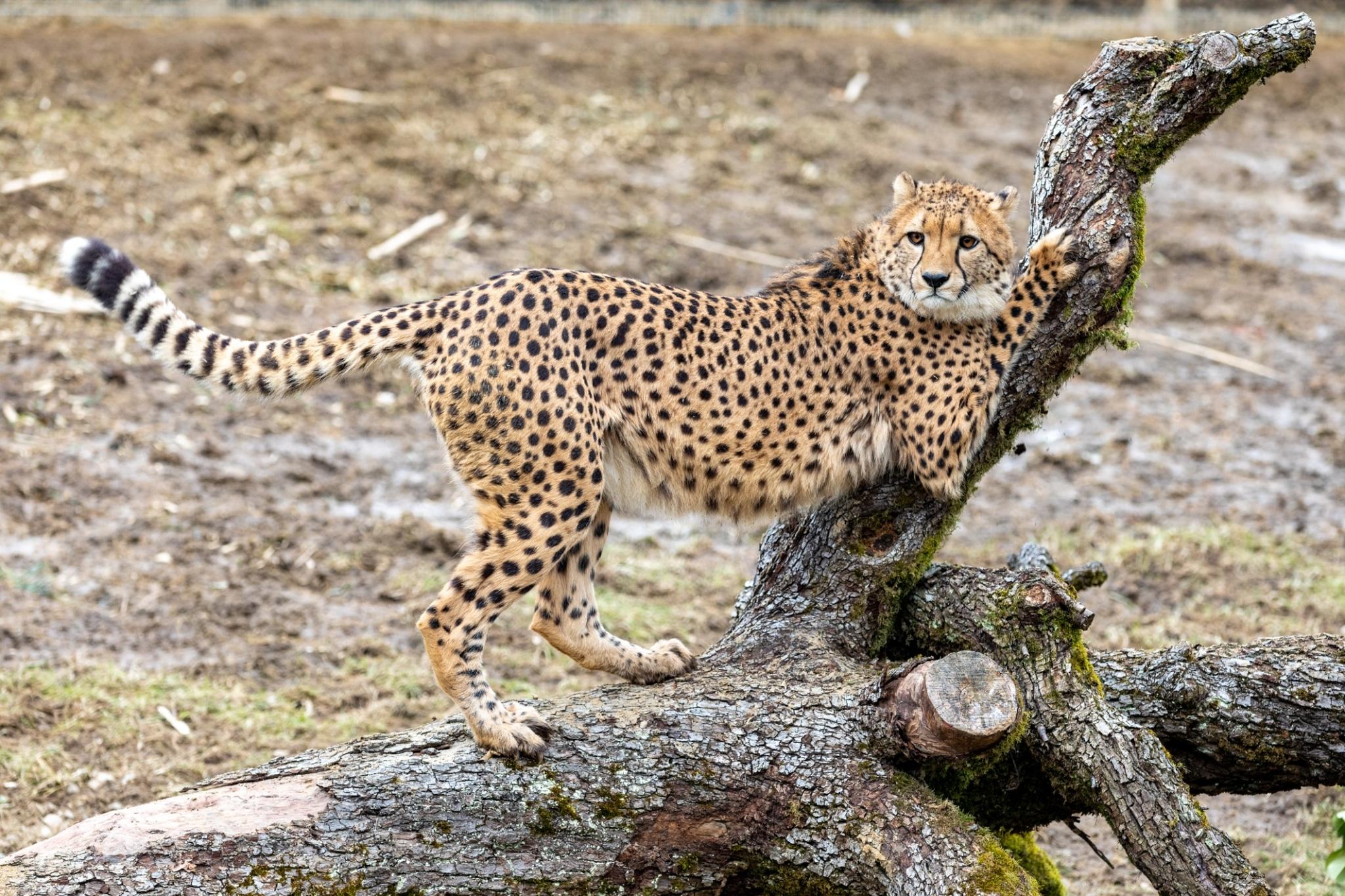 Gepard auf Ast im Tierpark Herberstein Rahmenprogramm vom Biohotel Retter