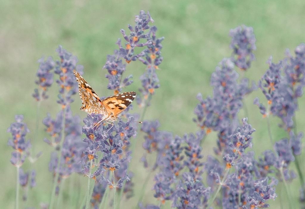 Schmetterling in Blumenwiese im Garten der Sinne des Biohotels Retter