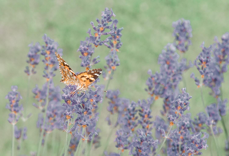 Schmetterling in der Streuobstwiese
