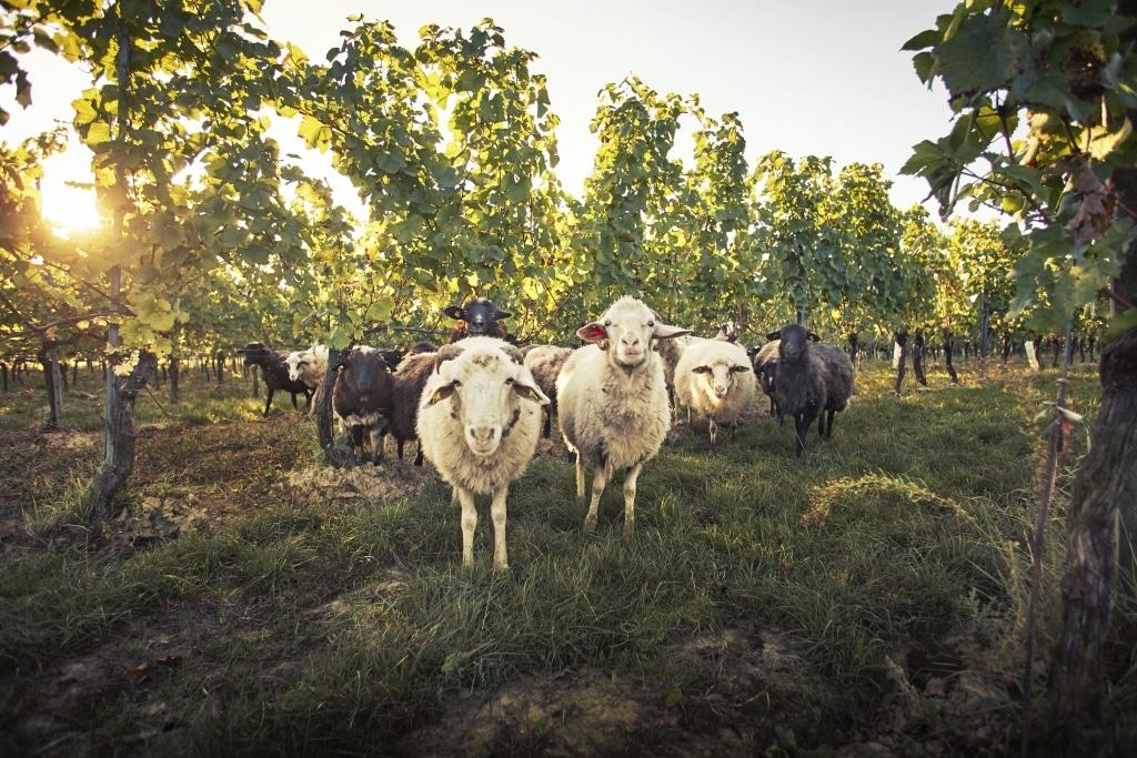 Lieferant Bioweingut Loimer Schafe zwischen Rebstöcke