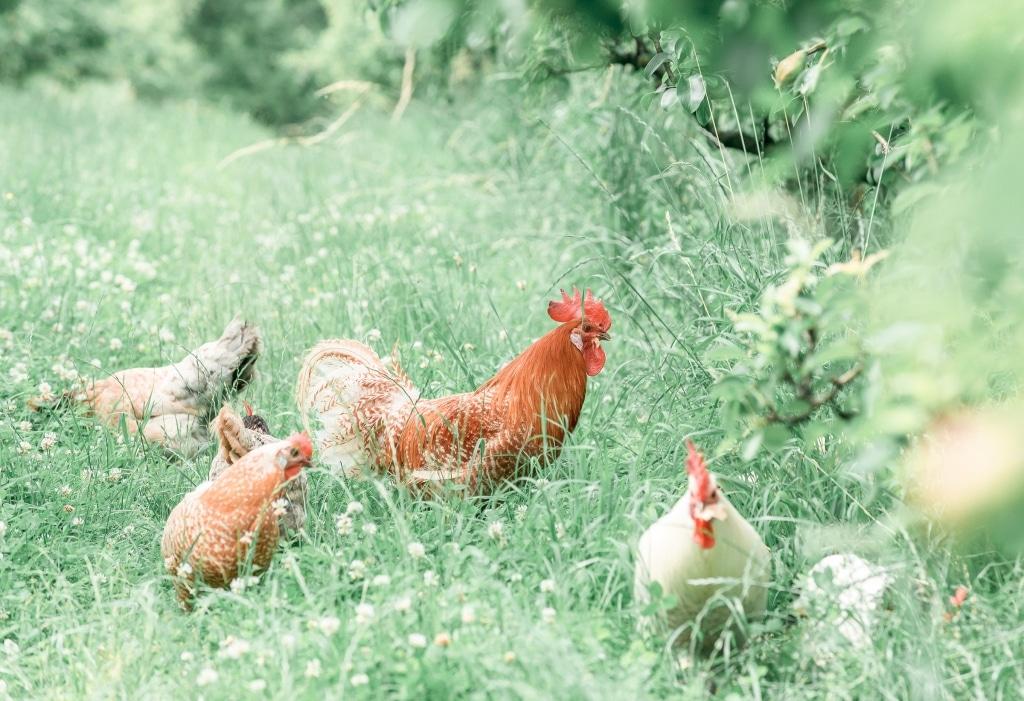 Hühner im Streuobstgarten des Biohotels Retter