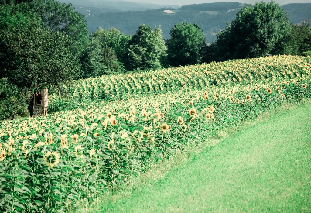 Bunte Kulturlandschaft des Naturparks Pöllauer Tal mit Sonnenblumenfelder, ideal zum Wandern